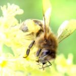 Bijen Van de Leeuw