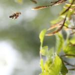Bijen en knoppen